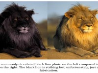 both-lions-are-dangrous-hd-free-wallpapers