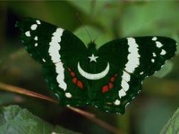 butterfly-pakistani-flag-wallpapers-hd-free
