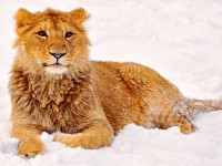 jasraj_the_lion_posing_in_the_snow_hd_free_wallpapers