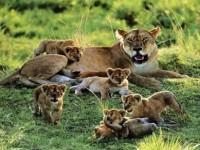 lion-baby-play-with-each-other-hd-free-wallpapers
