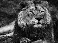 lion-black-and-white-hd-free-wallpapers