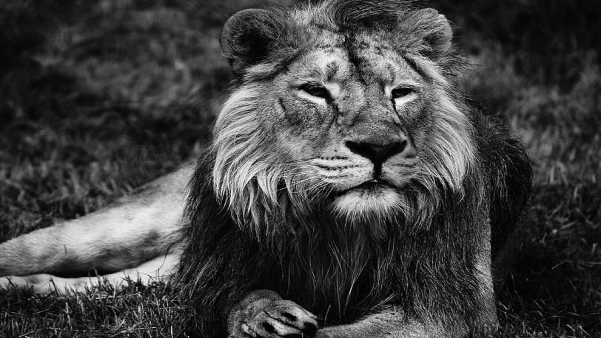 Lion Black And White Wallpaper Hd