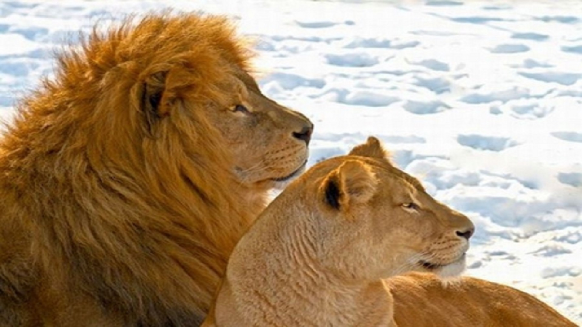 lion-couples-in-africa-hd-free-wallpapers
