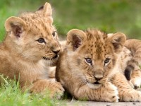 lion-cubs-african-free-hd-wallpapers-downloaded