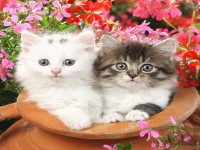 Most Beautiful Cats HD Free Wallpapers