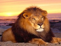 most-dangrous-african-lion-hd-free-wallpapers