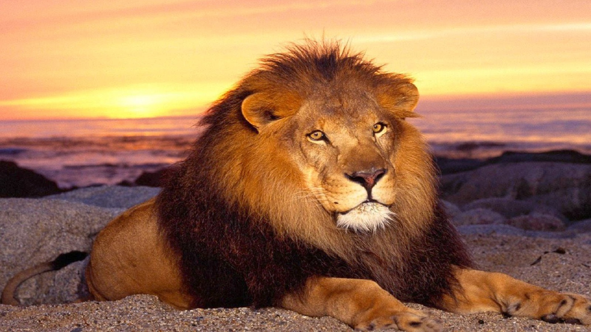 Most Dangrous African Lion Hd Free Wallpapers Hd Wallpaper