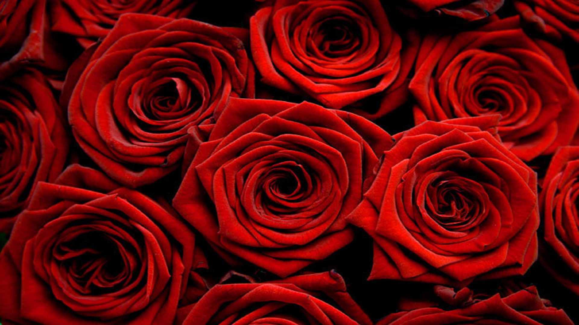 Nice Beautiful Look Hd Free Wallpaper Red Rose Hd Wallpaper