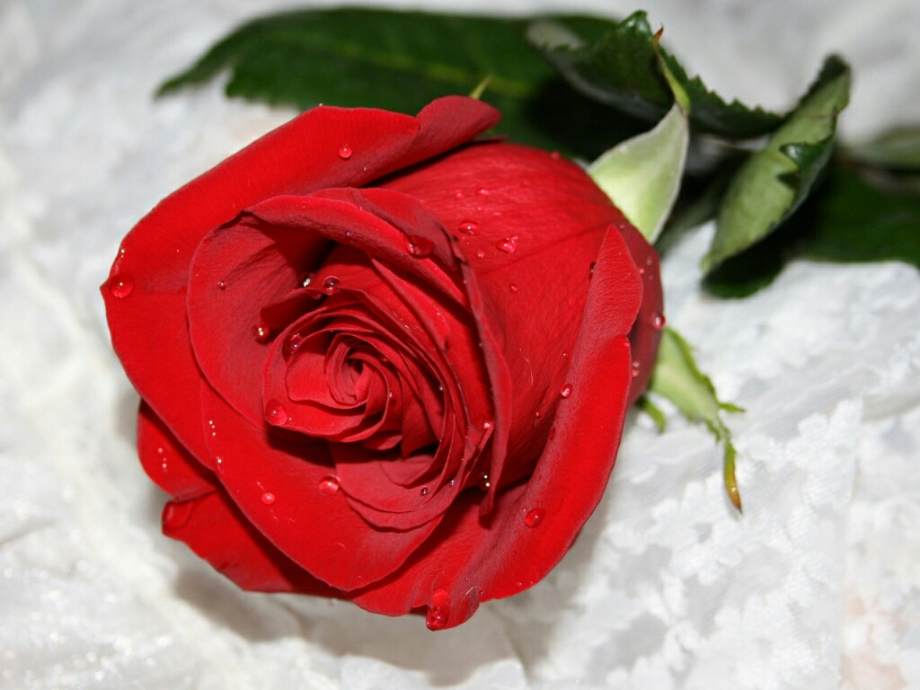 Nice-flower-free-hd-wallpapers-red-roses