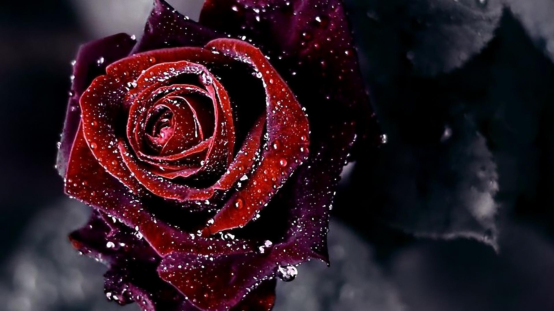 Nice-red-wallpapers-free-hd-top-latest-red-roses