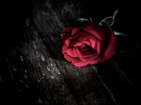 red-flower-roses-free-hd-wallpaper-for-you-download