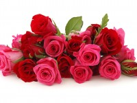 red-pink-nie-red-roses-free-hd-wallpapers