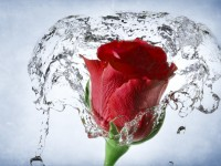 rose-red-with-water-so-beautiful-free-hd-wallpaper