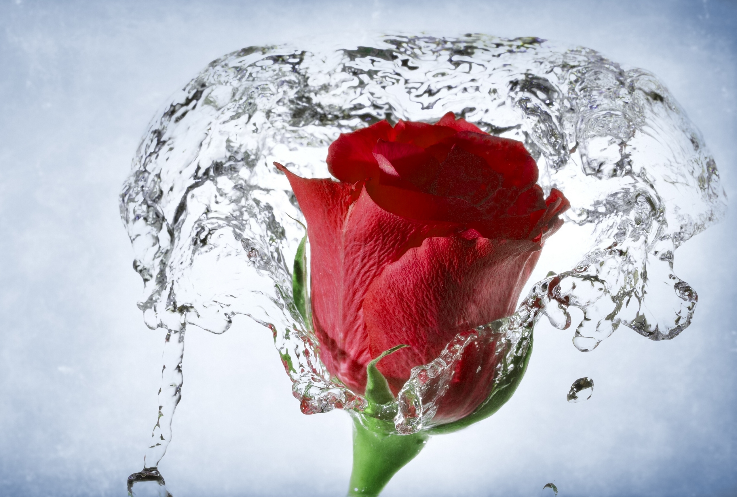 Rose Red With Water So Beautiful Free Hd Wallpaper Hd Wallpaper