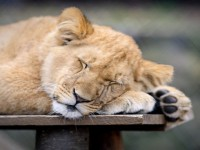 sleeping-lion-africa-hd-free-wallpapers