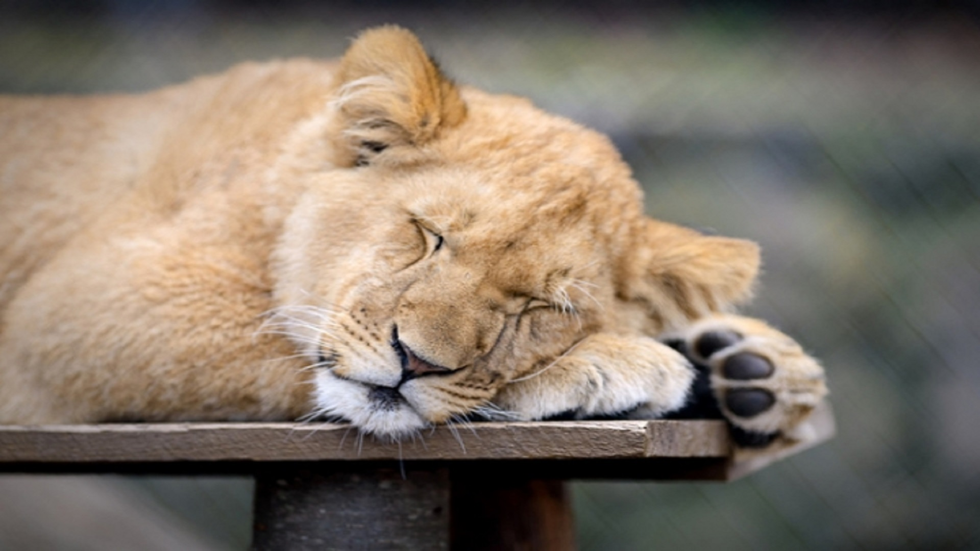 Sleeping-Lion-Africa-Hd-Free-Wallpapers - Hd Wallpaper-4212