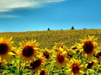 sunflowers-summer-season-hd-free-wallpapers-for-desktops-free