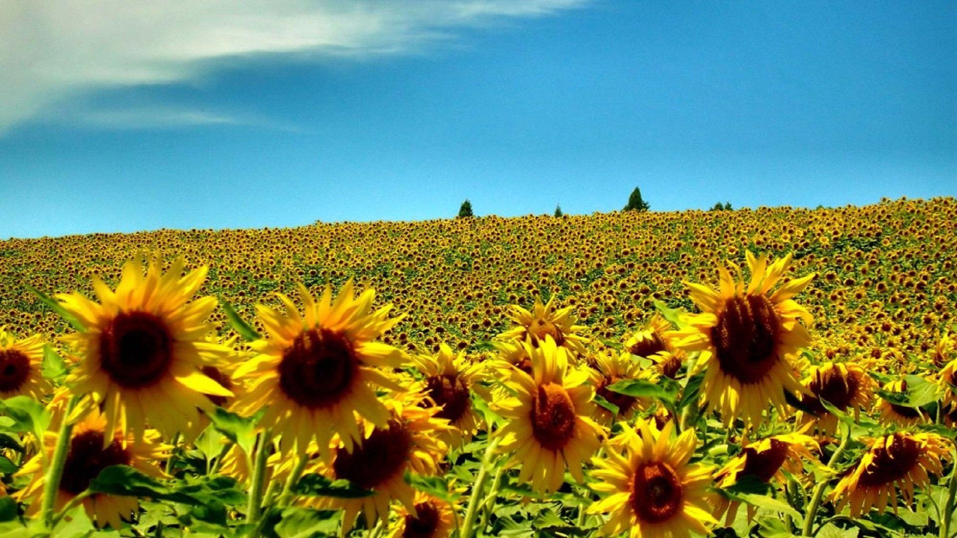 sunflowerssummerseasonhdfreewallpapersfordesktops
