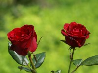 top-beautiful-new-rose-red-wallpapers-free-hd
