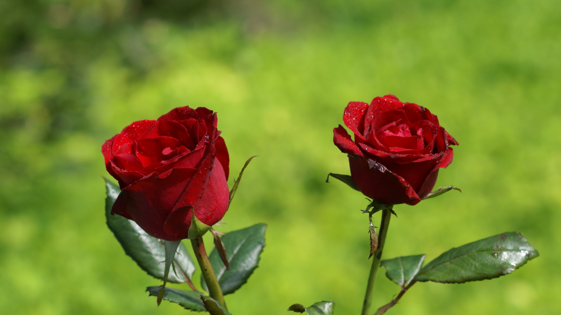 Top Beautiful New Rose Red Wallpapers Free Hd