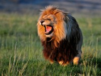 tumblr_african-lion-dangrous-hd-free-wallpapers