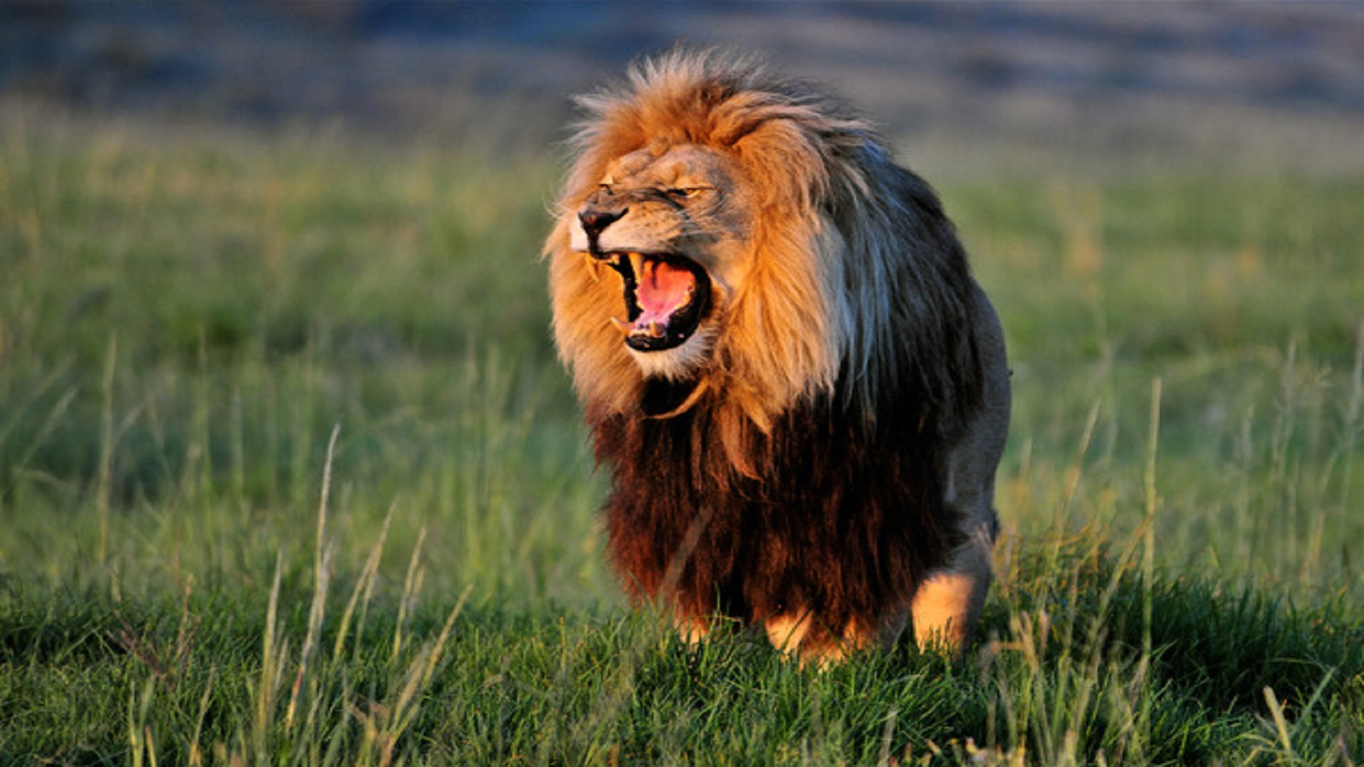 tumblr_african-lion-dangrous-hd-free-wallpapers - hd wallpaper