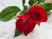 two-red-roses-free-wallpapers-hd