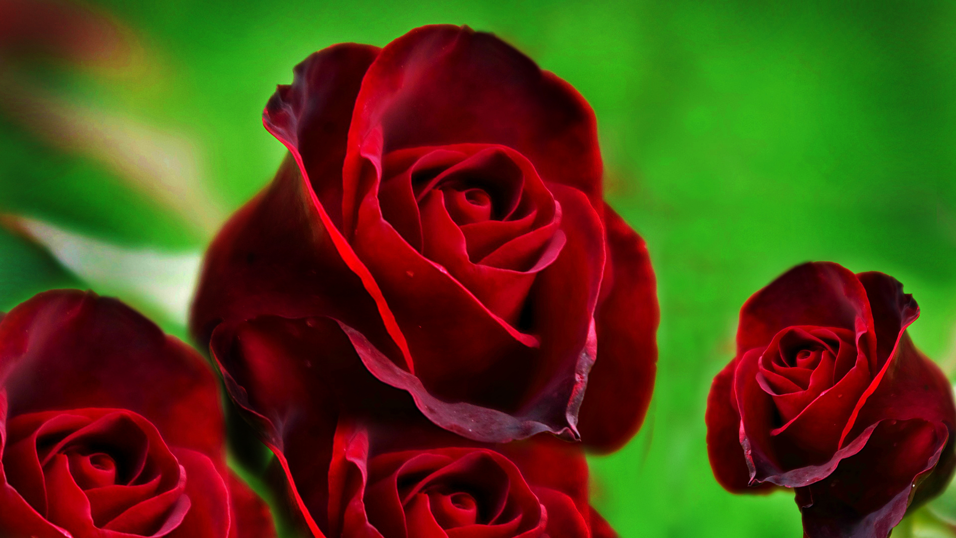 wallpaper-of-red-roses-hd-free-wallpaper