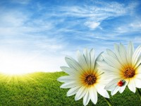 white-flowers-with-sun-beautiful-summer-season-hd-free-wallpapers