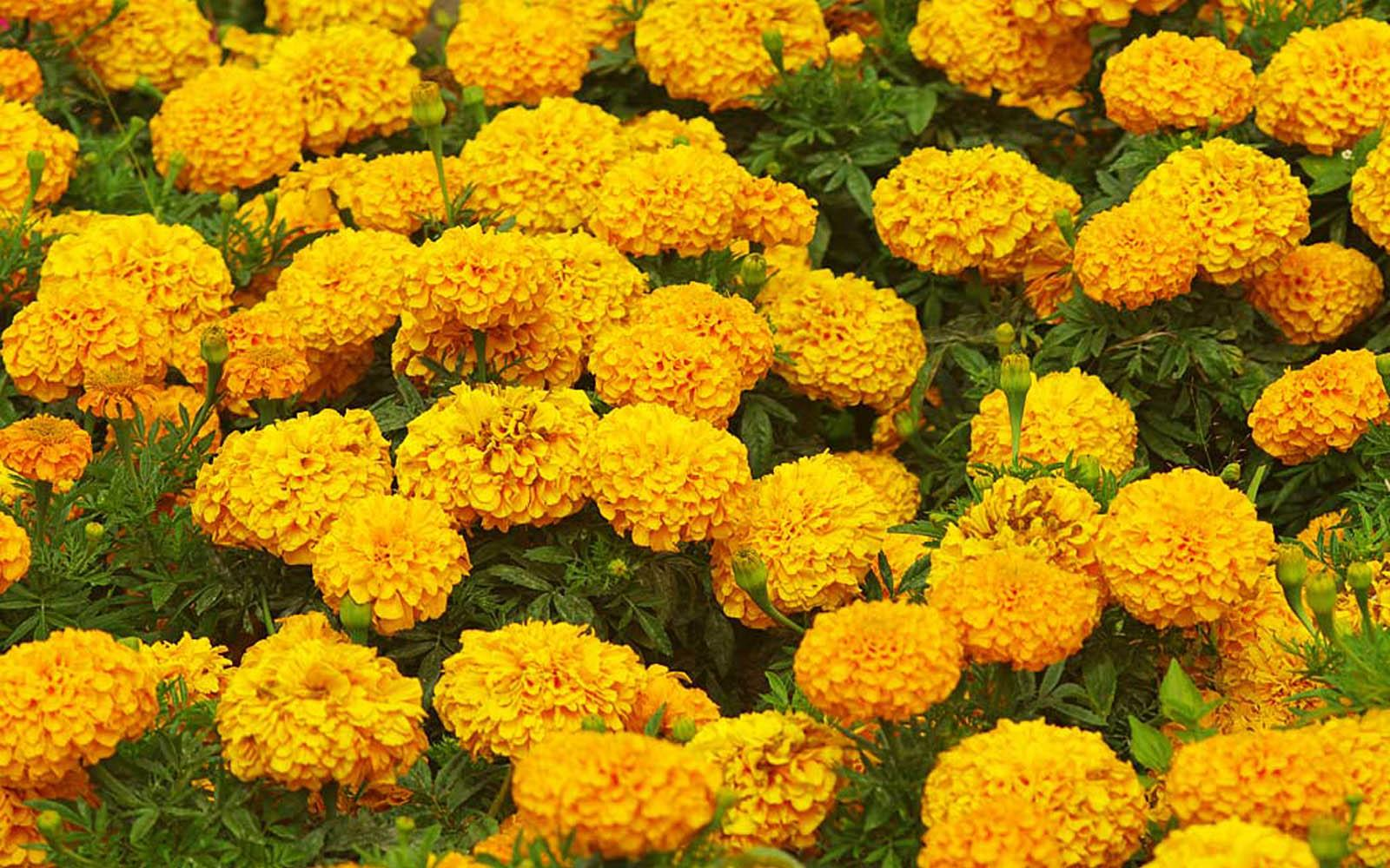 Marigold Flower Garden Wallpapers Hd Free For Desktop Hd Wallpaper
