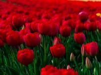 flowers-rose-garden-wallpaper-free-hd-for-desktop