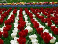 ltulip-garden-flower-hd-wallpapers-cool-hd-free-wallpapers