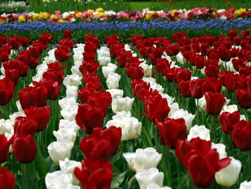 Ltulip Garden Flower Hd Wallpapers Cool Free