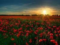 red_flower_garden-wide-free-hd-wallpapers
