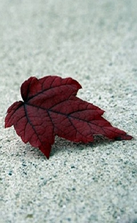 Beautiful_Leaf-free-hd-wallpapers-for-mobiles