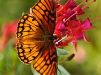 Mariposa-free-hd-wallpapers-for-mobiles