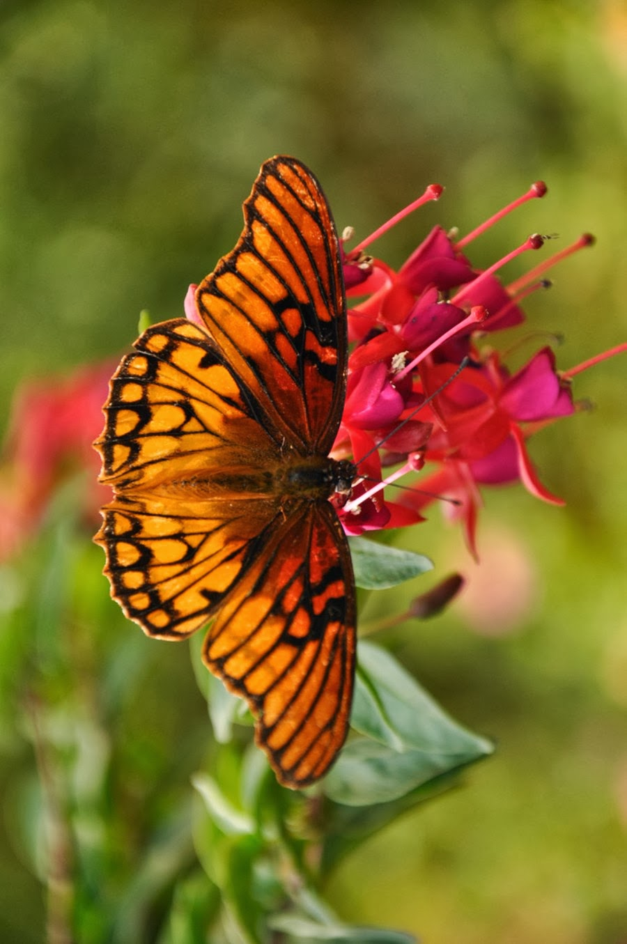 Mariposa Free Hd Wallpapers For Mobiles Hd Wallpaper