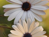 amazing-flowers-hd-free-wallpapers-for-mobile