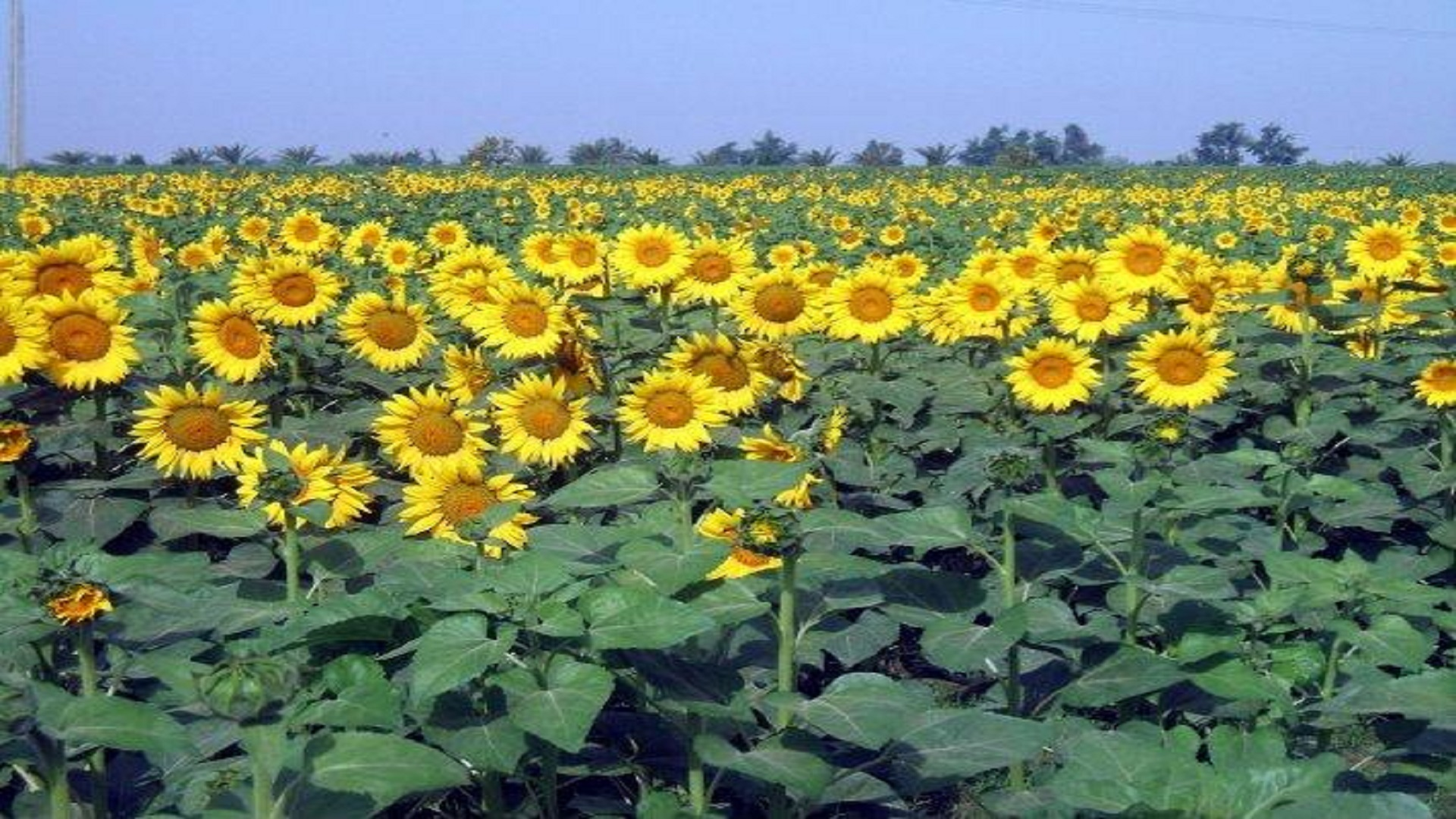 Free beautiful sun flowers hd wallpapers hd wallpaper free beautiful sun flowers hd wallpapers izmirmasajfo