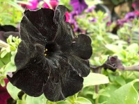 black rose hd free wallappers