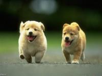 Cute Welsh Corgi Puppy Wallpaper free hd for desktop