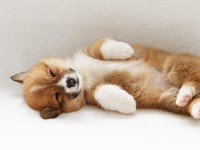 Pembroke Welsh Corgi Dog free hd wallpapers for desktop