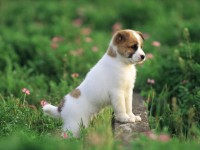 Pretty-Dog-wallpaper-puppies-free-hd-for-desktop