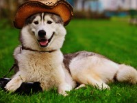 Beautiful dog with hat free hd wallpapers