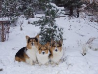 Free snowing hd wallappers free corgi