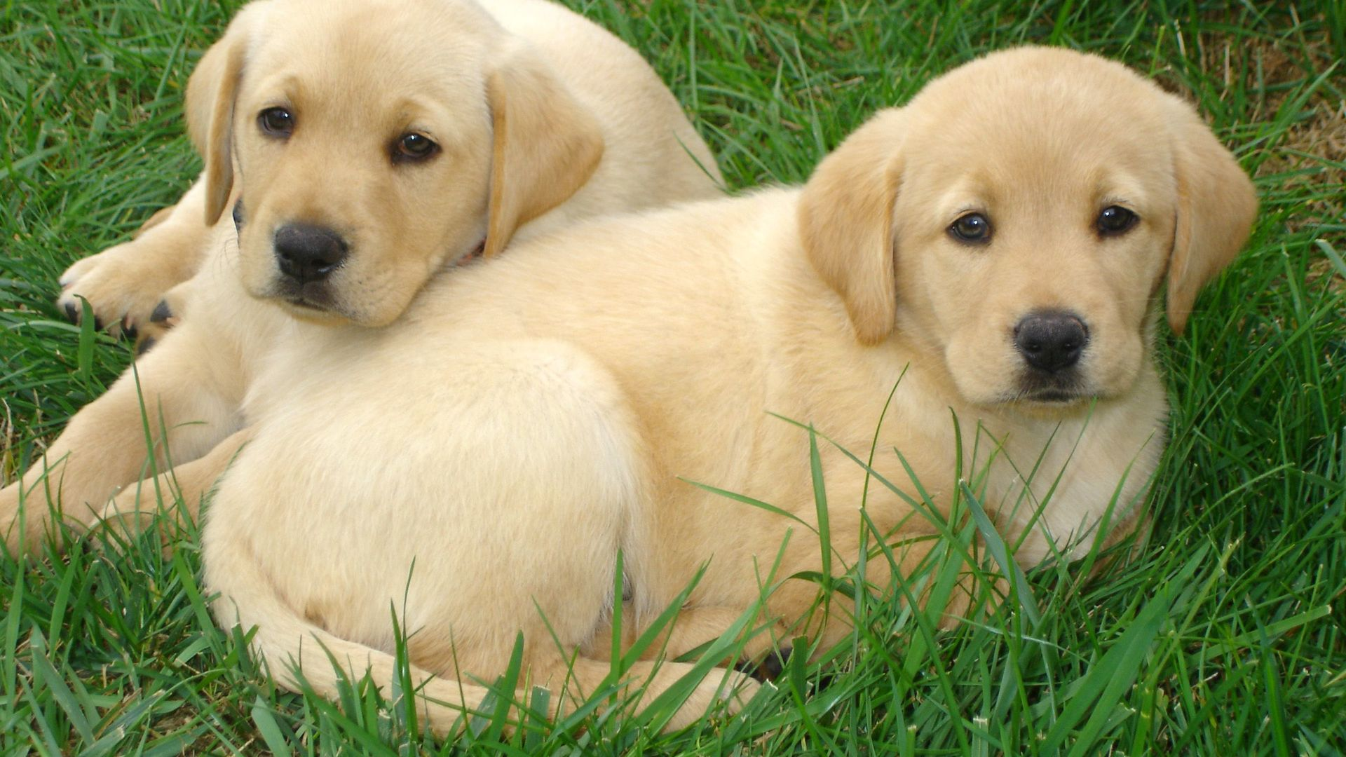 Labrador Retriever Puppies Free Hd Wallpapers Hd Wallpaper