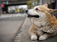 Dog pembroke welsh corgi free hd wallappers