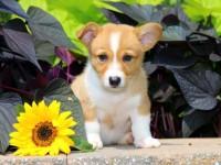 Dog pembroke free hd wallpapers for desktop