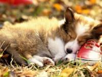pembroke-welsh-corgi-puppy-beautiful-sleeping-on-a-red-shoe-free-hd