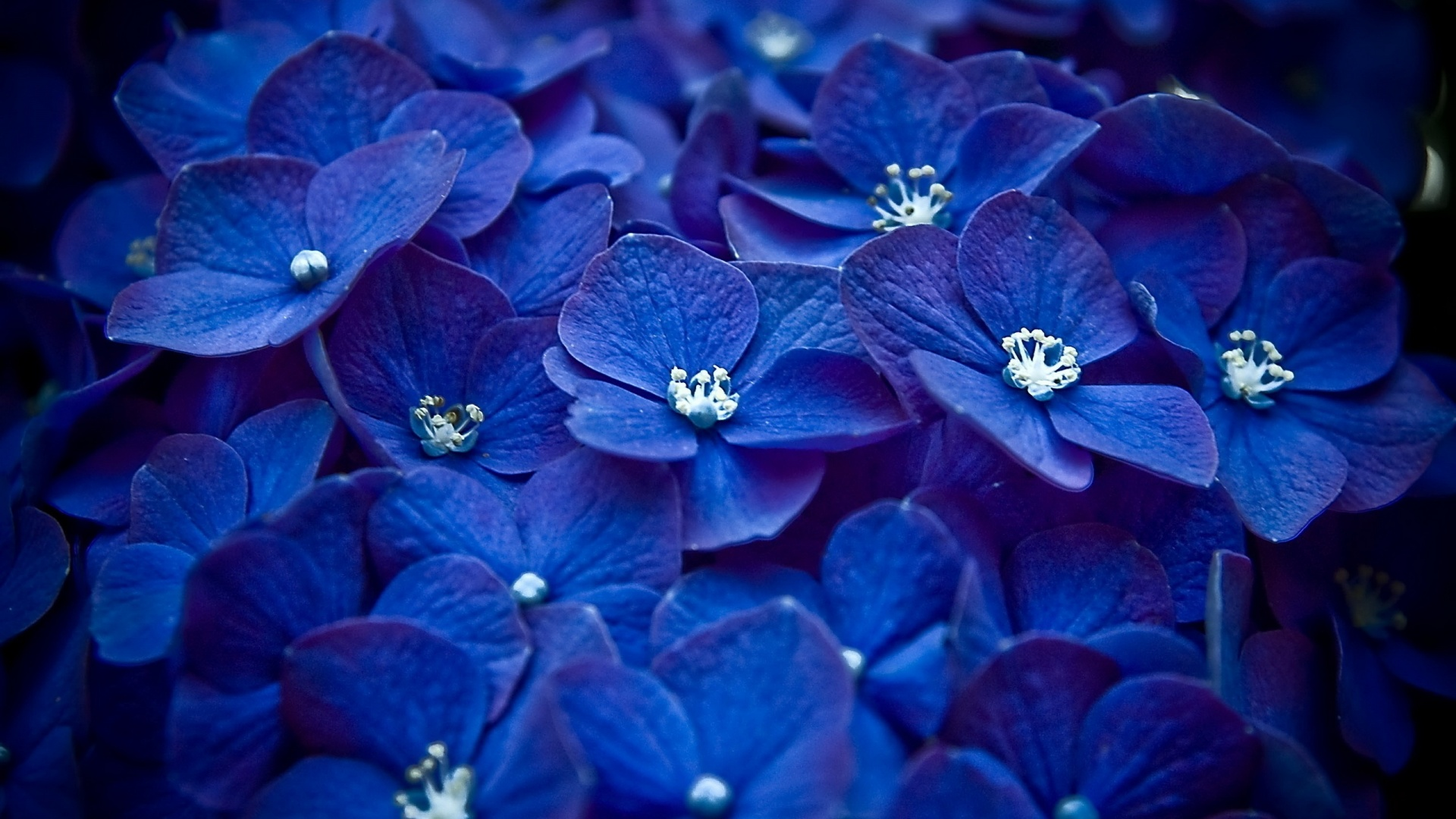 blue flowers hd free wallpapers for tumblr
